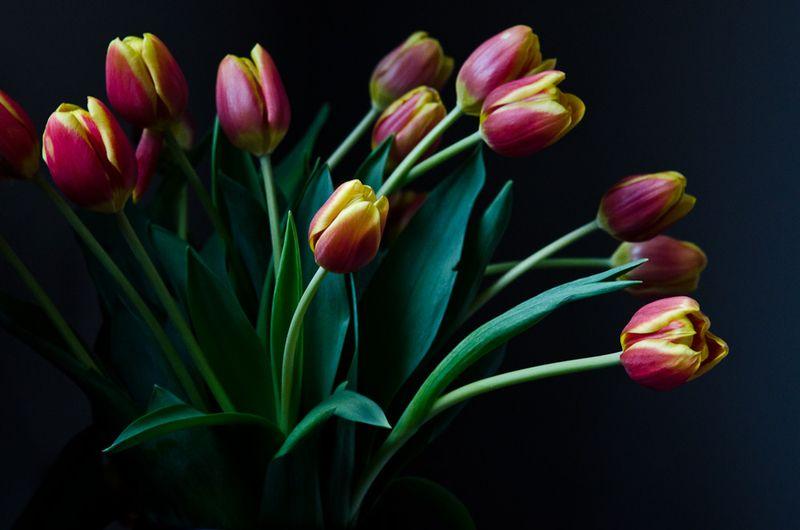 tulip, flower